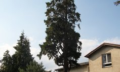 The California incense cedar