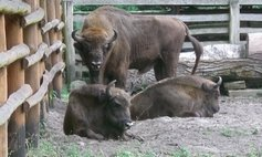 The Bison Demonstration Farm