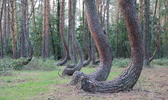 Natural Monument Krzywy Las [the Crooked Forest]